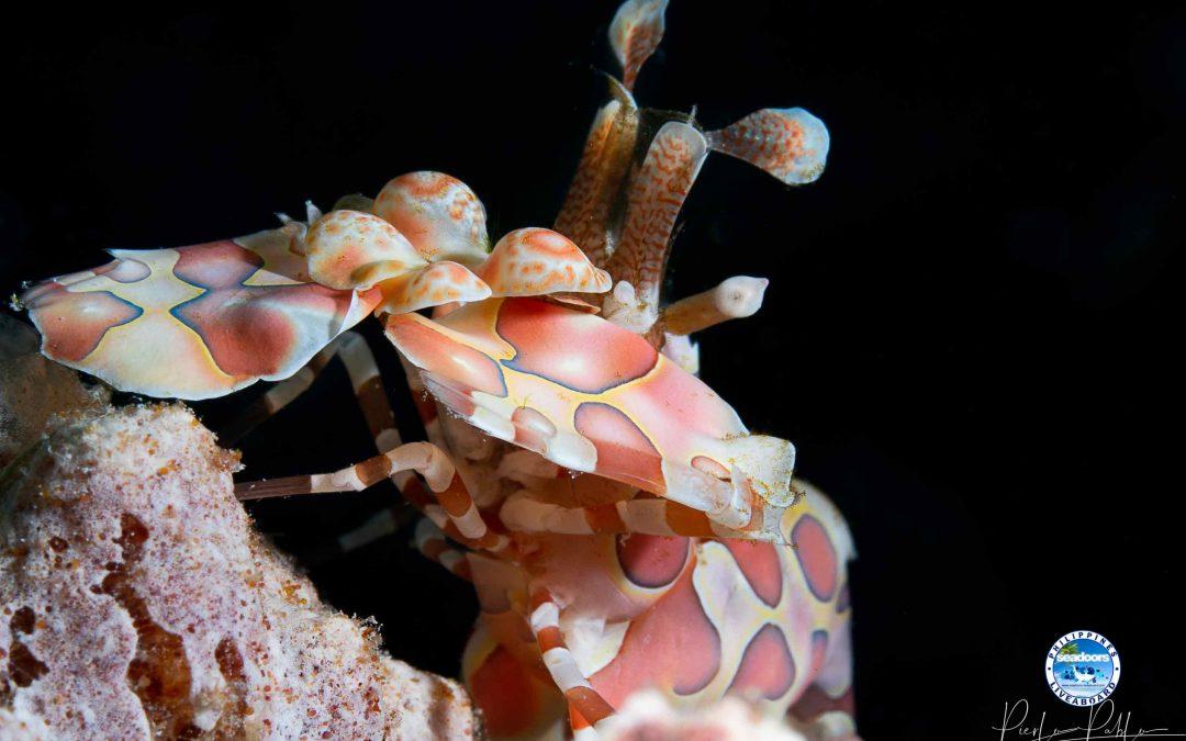 Harlequin Shrimp Colony in Visayas