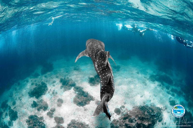 Whale Shark Leyte Seadoors
